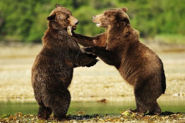 Braunbären Alaska